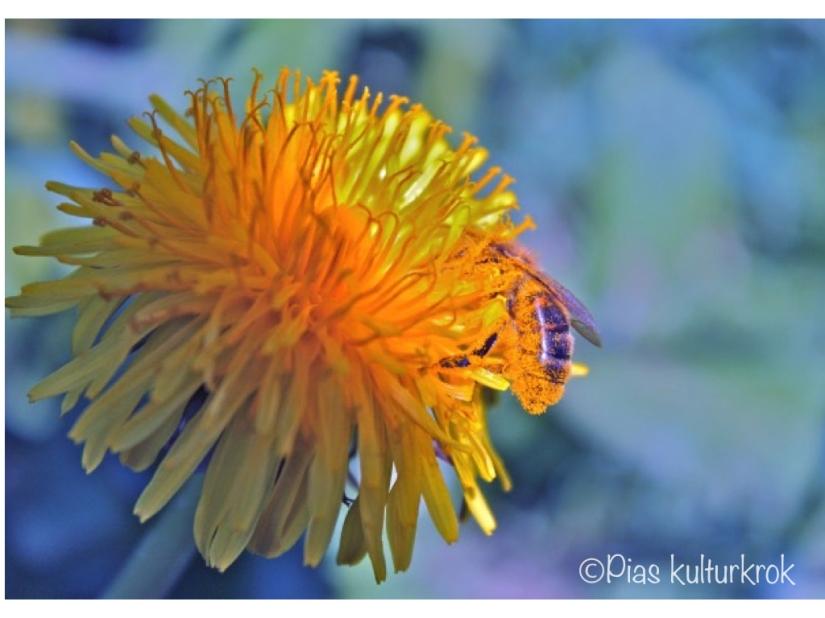 Bie og pollinering.001.jpeg